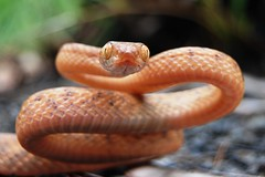 Brown Tree Snake (chrisvanwyksadventures) Tags: reptile snake queensland browntreesnake rearfanged