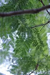 (Vanessa Pike-Russell) Tags: tree green jacaranda