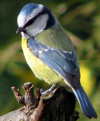 Blue Tit ~ cropped to close ! (simball) Tags: uk wild england simon birds forest canon garden wildlife british worcestershire s5 knott wyre kidderminster 40d wmbc simbird