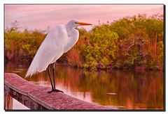 Waiting (Fraggle Red) Tags: dawn florida boardwalk evergladesnationalpark jpeg hdr pinklight greatwhiteegret royalpalm ardeaalba naturesfinest blueribbonwinner vob supershot enp 2exp canonefs1785mmf456isusm anhingatrail avision superbmasterpiece diamondclassphotographer flickrdiamond overtheexcellence dphdr goldstaraward