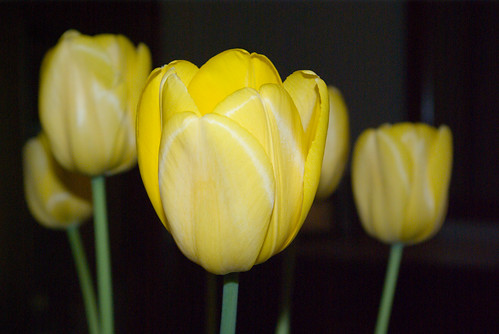 yellow tulips, istanbul, pentax k10d