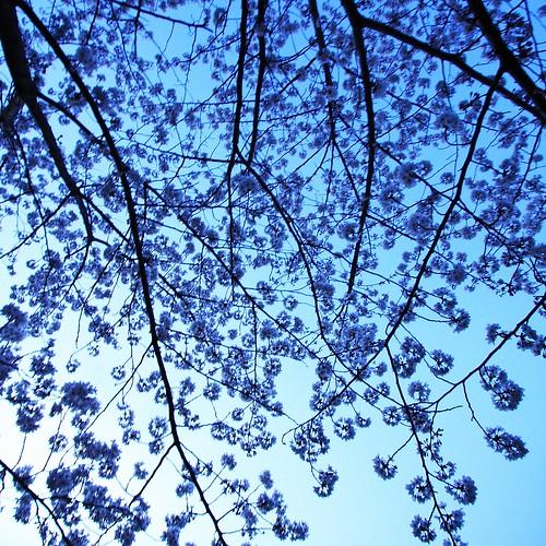 Cherry blossoms in Kiba Park, Tokyo 01 square