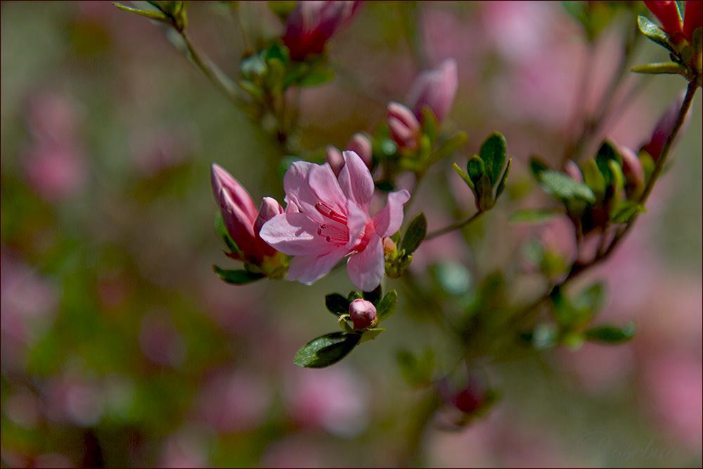 untitled (pink azalea) ©2008 RosebudPenfold