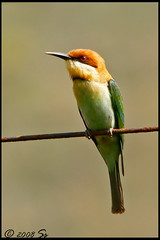 Chestnut headed BeeEater (shivanayak) Tags: india chestnut shiva karnataka headed beeeater  shivanayak explored chestnutheadedbeeeater 2007 shivashankar avianexcellence