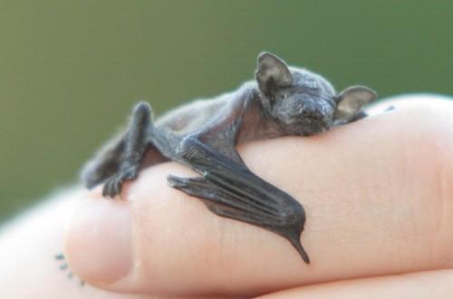 murciélago bebé en la mano