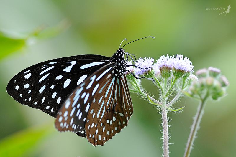 080517 宜蘭 大同鄉 英士村 小紋青斑蝶 Tirumala septentronis  (Butler, 1874)