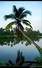 Coconut Tree - Gods Own Country. (Smevin Paul - Thrisookaran !! www.smevin.com) Tags: india paul photography nikon photos kerala contact 1855 thrissur trichur kuriachira smevin smevinpaul aplusphoto d40x trisoor malayalikkoottam smevins thrisookaran