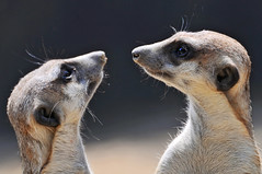 Meerkats looking each other (Tambako the Jaguar) Tags: cute face animal mammal zoo switzerland cool meerkat nikon looking faces symmetry whiskers symmetric tele zrich faceoff facetoface staring knie rapperswil suricate d300 suricatta eachother suricata kinderzoo lookingateachother impressedbeauty lookingeachother natureselegantshots flickrlovers twomeerkats