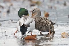 Eye to eye (Gregory Lis) Tags: mallard mallards anasplatyrhynchos burnabylake britishcolumbia gorylis gregorylis nikond810 duck