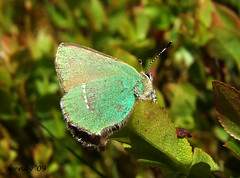 Green hairstreak (wendyforbes) Tags: green nature butterfly scotland flickr fuji fife wildlife hill finepix falkland greenhairstreak digitalcameraclub wendyforbes59