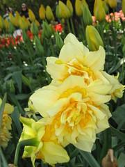 IMG_8221 (SC in Seattle) Tags: flower spring valley tulip skagit 2010 ijen szuchichen skagig hsienyi