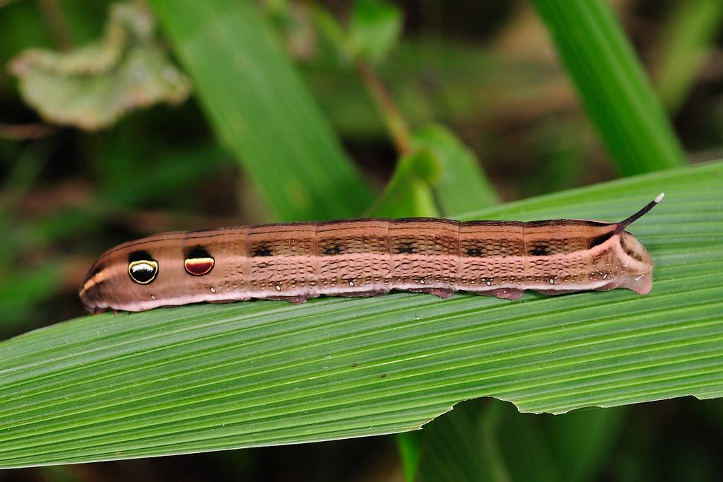 天蛾科幼蟲