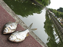 Dead fish on the moat
