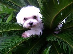 Mon Petit Chien (crazylife88) Tags: dog co perro cachorro merlin maltese melts