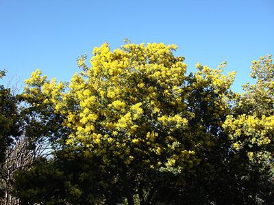 mimosas sous le soleil.jpg