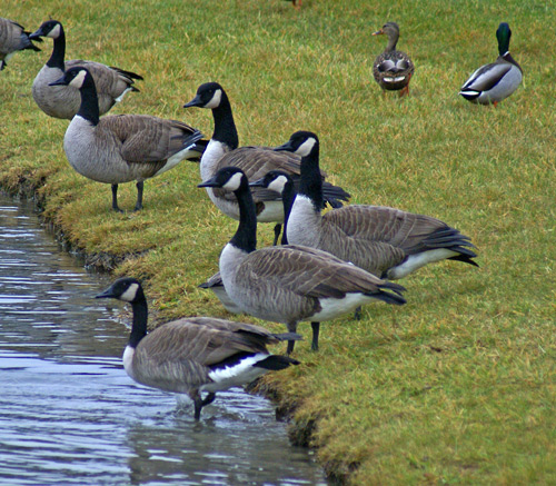 Geese-on-pond-4