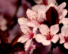 farbe nah / color close (Juergen Kurlvink) Tags: voyage trip travel pink vacation france color macro tree colors