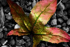 Nature on Acid (mmmkqqq) Tags: pink red white black color colour green texture nature leaves yellow gold leaf maple amazing rocks metallic quality touch some like pebbles molly fantasy veins shape natures quist sfchronicle96hrs colourartaward