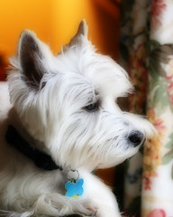 Wee Westie Keeping Watch (Randy Son Of Robert) Tags: dog chien pet white cane westie canine hond perro terrier cao hund yoshi gae orton kalb inu gou blueribbonwinner sobaka anawesomeshot diamondclassphotographer flickrdiamond