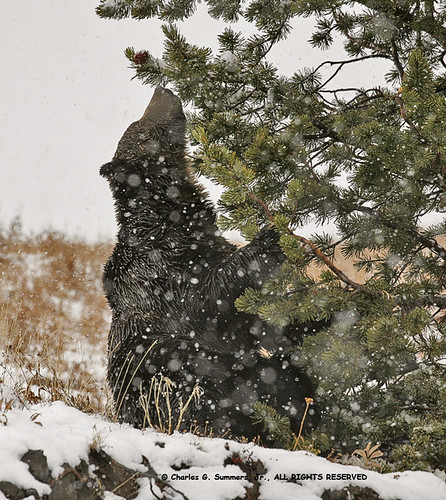 Grizzly Bear searching for White Bark Pine Nuts during a snowstorm _MG_1935