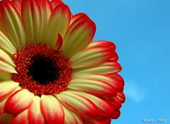 It's My Flickrversary!! (~fb~) Tags: blue sky flower nature gerbera flickrversary 1yeartoday colorphotoaward impressedbeauty ~fb~ ~karen~ 5thjanuary2008