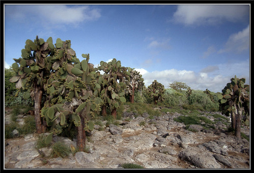 Opuntia Cactus- South Plaza Island