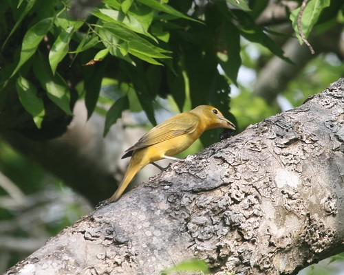 Summer Tanager Rubbing Bee