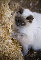 My New Scratching Post (Domain Barnyard) Tags: cat mix feline january longhair kitty straw domestic hay 2008 himalayan scratching scratchingpost catscratch tingey domainbarnyard bestofcats canoneos40d