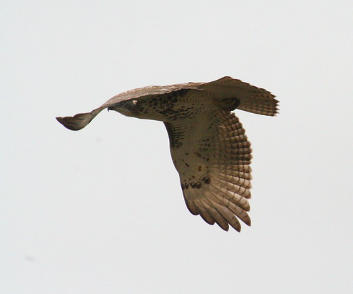 red-tailed hawk in flight 02