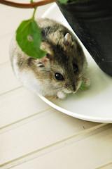 02. Let me taste (EricFlickr) Tags: pet cute animal mint taiwan hamster herb hammy