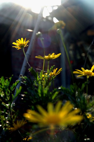 Daisies to the Sun