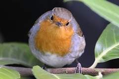 Who are you? (Britta's photo world) Tags: dublin bird robin animal zoo erithacusrubecula britta birdwatcher robinredbreast niermeyer abigfave worldbest theunforgettablepictures brillianteyejewel eyeofthephotographer llovemypic