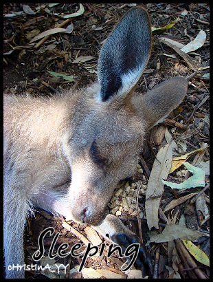 Kangaroo: Sleeping