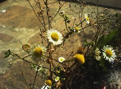 Attimi (Elanorya) Tags: flower nature cellulare fiori terra aria rami margherite blueribbonwinner firstquality istante mywinners impressedbeauty diamondclassphotographer flickrdiamond