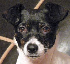 The Lovely Miss Lucy (chippewabear) Tags: dog puppy lucy doggie ratterrier rattie avision thebestpicturegallery
