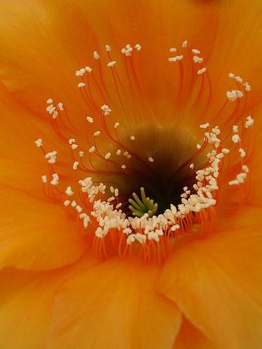lil' cactus blossom