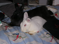 DSCN4701 (delilah84) Tags: bunnies animals guinea pig cavy rabbits animaux rodents fritz animali aku suria ronja conigli porcellino lapins cavia lagomorphs rongeurs roditori peruviano lagomorfi