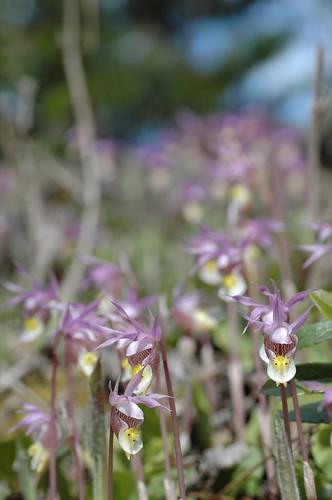 Calypso orchid field