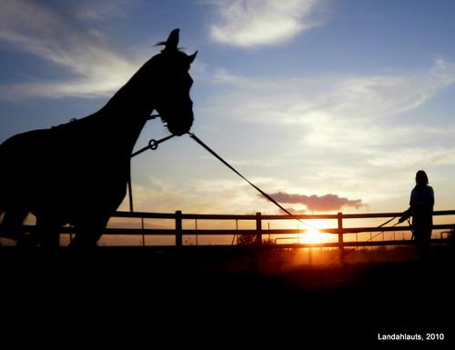 Hannoveraner (Pferd)