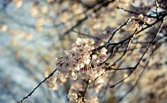 Sakura at High Park (tomms) Tags: toronto flower tree highpark blossom bloom cherryblossom sakura