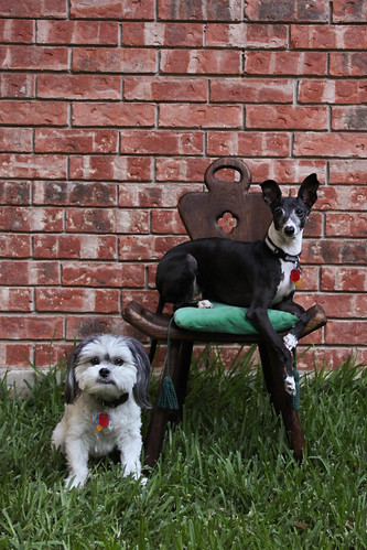Two dogs and a chair 3