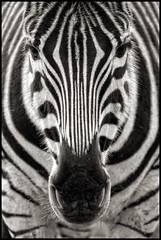 UK - Cotswolds - Cotswold WIldlife Park - Zebra mono (Darrell Godliman) Tags: uk greatbritain travel england blackandwhite bw copyright tourism monochrome animal mammal zoo mono nikon europe britishisles unitedkingdom britain stripes eu cotswolds symmetry zebra gb barcode symmetrical stripey oxfordshire allrightsreserved oxon burford cotswoldwildlifepark wildlifepark barcoded instantfave westoxfordshire fantasticnature omot westoxon flickrelite worldofanimals dgphotos darrellgodliman wwwdgphotoscouk d300s dgodliman nikond300s ukcotswoldscotswoldwildlifeparkzebramono