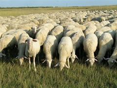 curious lamb (elisabatiz) Tags: animal hungary explore lambs agriculture naturesfinest puszta alföld aplusphoto
