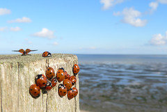 Ladybug Air welcomes you to Texel. We hope you enjoyed your flight. ( - s  ) Tags: sea sky holland macro netherlands waddenzee nederland insects zee bugs ladybird ladybugs lucht ladybirds texel insecten lieveheersbeestjes waddensea cy2 challengeyouwinner thechallengegame challengegamewinner onephotoweeklycontest