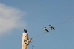 DSC_0003.JPG (webber0075) Tags: autumn sky usa cloud fall birds animals wire colorado brighton denver pole d200 adamscounty commercecity unincorporated thewest nearbarrlake unincorporatedarea