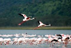 Kenya Lake Nakuru-076 Flamingos (Tristan27) Tags: africa bird kenya wildlife flamingo birdwatcher lakenakuru slbflying