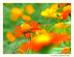 Happy Colors (Araleya) Tags: life travel orange plant flower macro nature river thailand happy colorful southeastasia panasonic joyful riverbank floraandfauna delightful loei lively fz50 mekhong beautifullife araleya chiangkhan pdpnw theperfectphotographer bestoforange