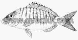 2054651033 9b67c8600a mercan balığı nasıl avlanır