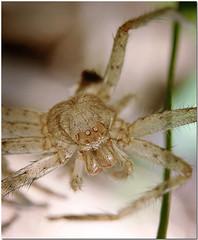 Blind spider (lenkline) Tags: dead spider dried wolfspider extensiontube kenko14xtc nikon3570mmf28