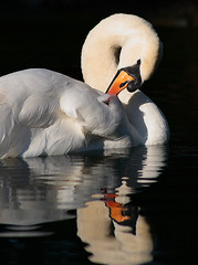 Swan Preening and Reflection (torimages) Tags: reflection swan preening feather fluffy wells somerset sd allrightsreserved clearwater naturesfinest featherdetail overtheexcellence donotusewithoutwrittenconsent copyrighttorimages